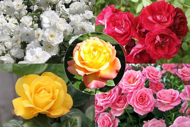 Save £20 on bare-root rose bush collection from Blooming Direct