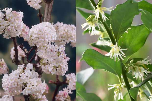 Save up to £5 on fragrant winter shrubs from Blooming Direct