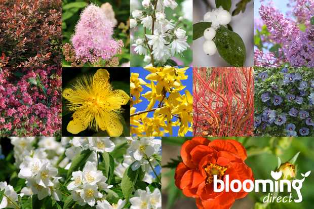 Buy 12 winter-hardy shrubs for only £12 from Blooming Direct