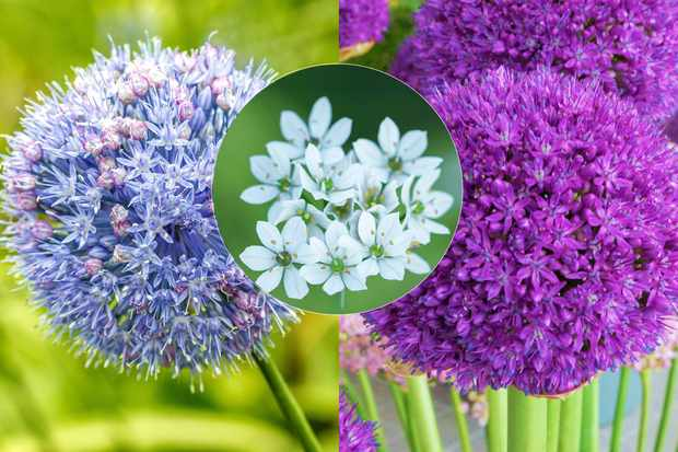 Save 25% extra on sale prices across allium range at Farmer Gracy