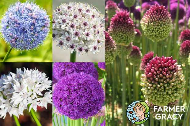 Save 25% on alliums at Farmer Gracy