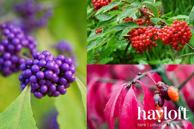 Berry Beautiful shrub collection from Hayloft