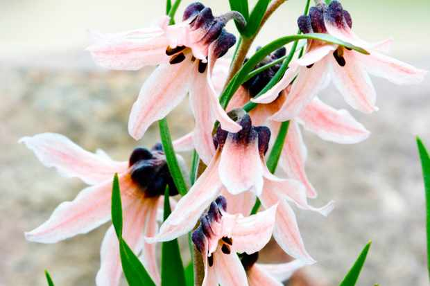 Save on rare fritillaria bulbs at Hayloft