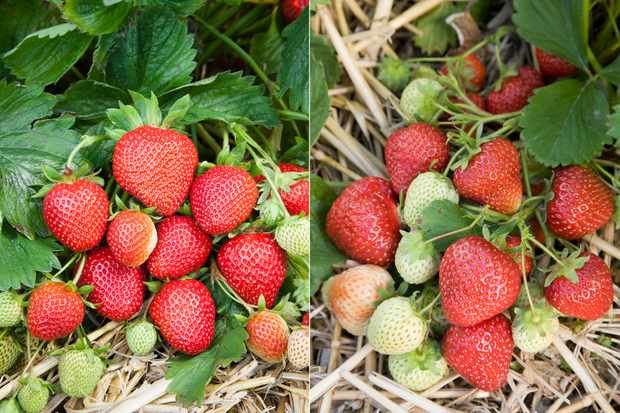 Save on strawberry plant collection from Pomona Fruits