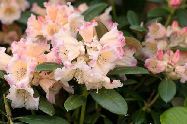 Rhododendron 'Spring Sunshine'