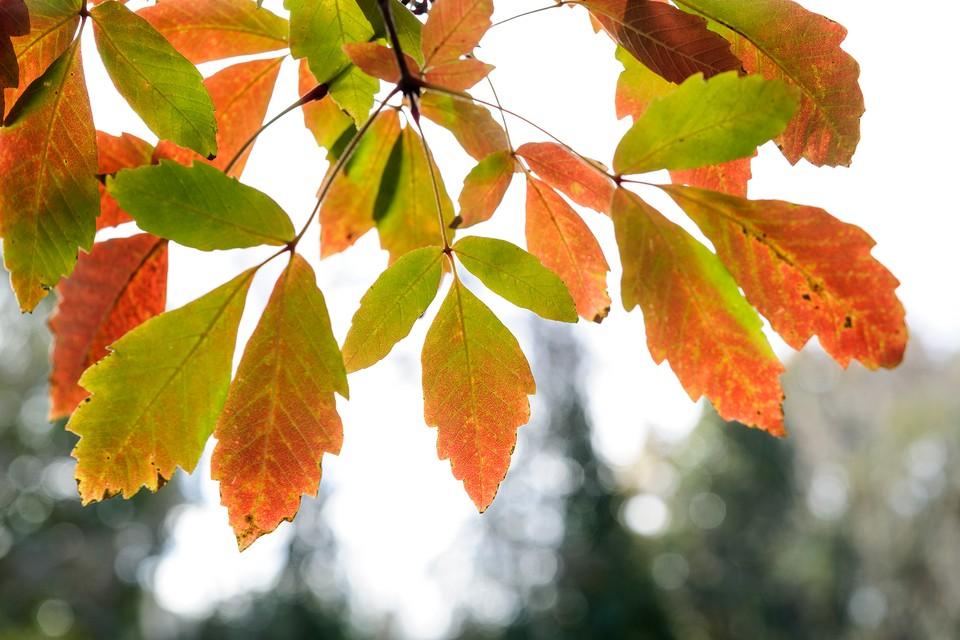 Trees for autumn colour - Japanese maple, Acer griseum