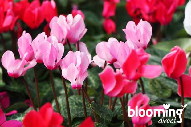 Save over 30% on mixed cyclamen at Blooming Direct