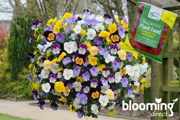 Buy 12, get 12 free on pansy 'Cool Wave' at Blooming Direct