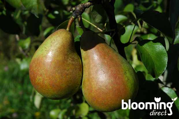 Save 25% on fruit trees at Blooming Direct