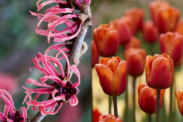 Free tulips with hamamelis order, from Hayloft