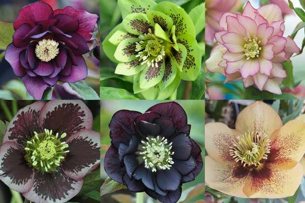 Save up to £27 on hellebores at Hayloft