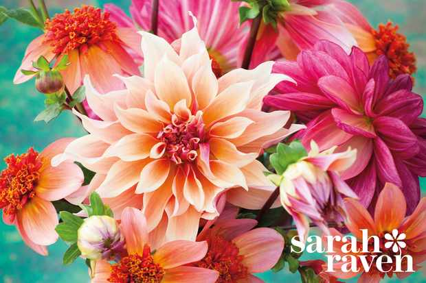 Save 20% on dahlias at Sarah Raven