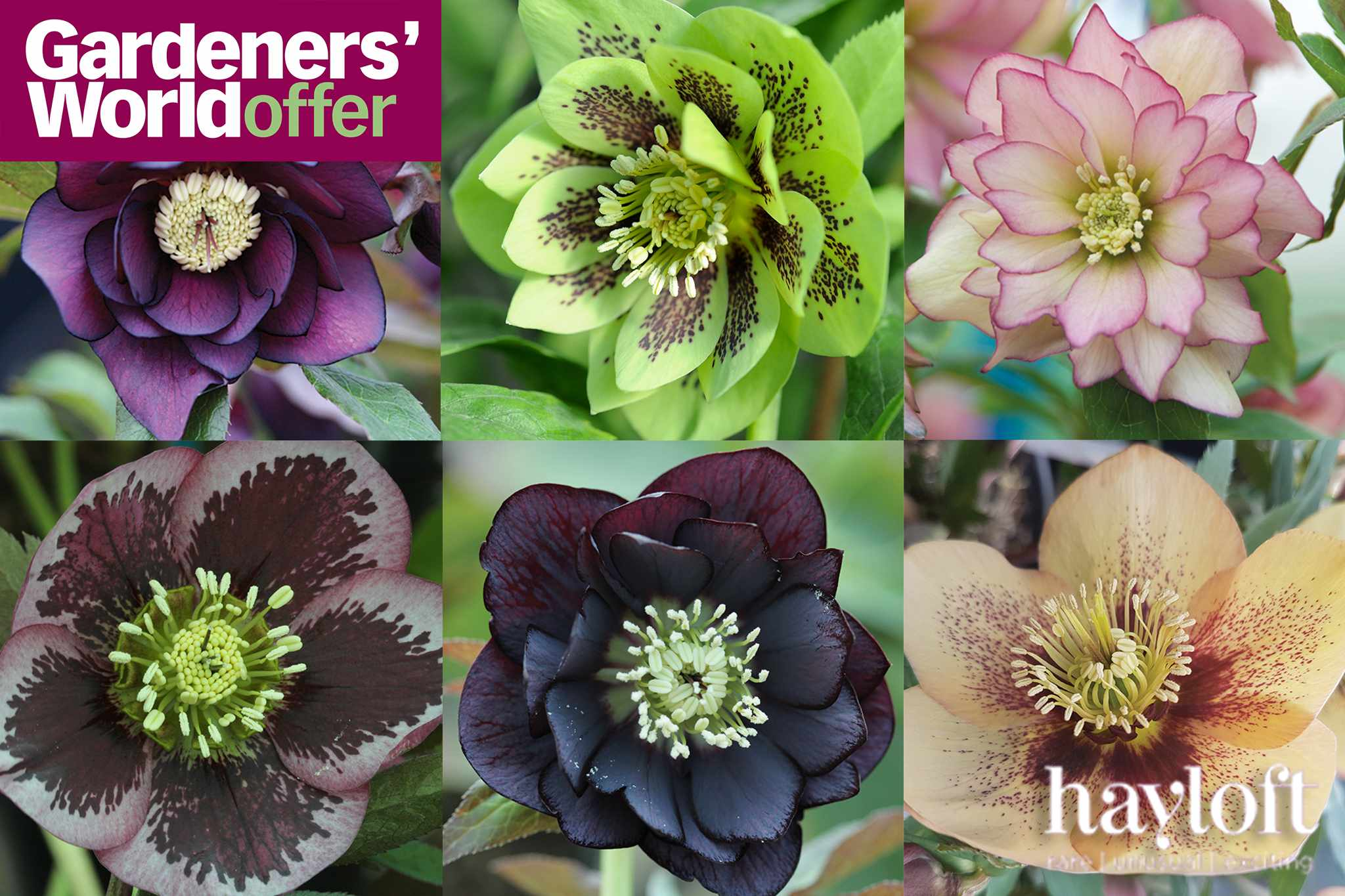 Save £27 on mixed collection of hellebores from Hayloft