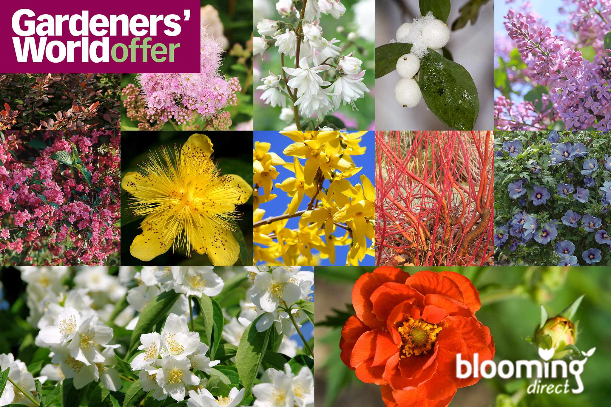 Buy 12 winter-hardy shrubs for only £12, from Blooming Direct