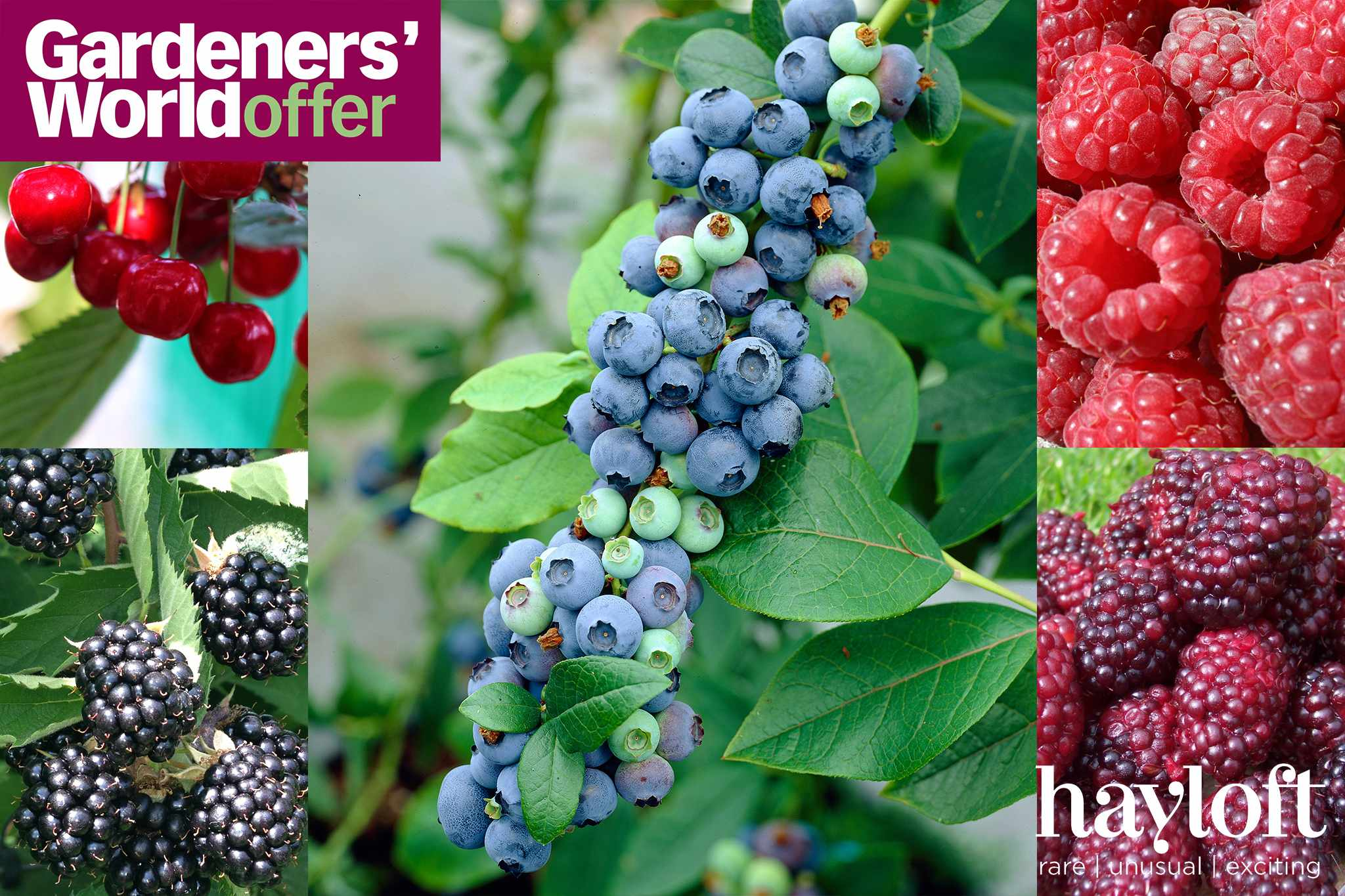 Free blueberry plants when you pay postage from Hayloft
