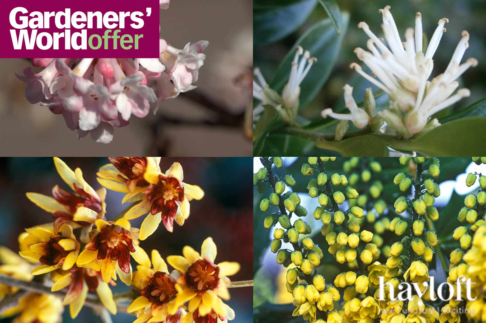 Save on fragrant winter shrubs from Hayloft