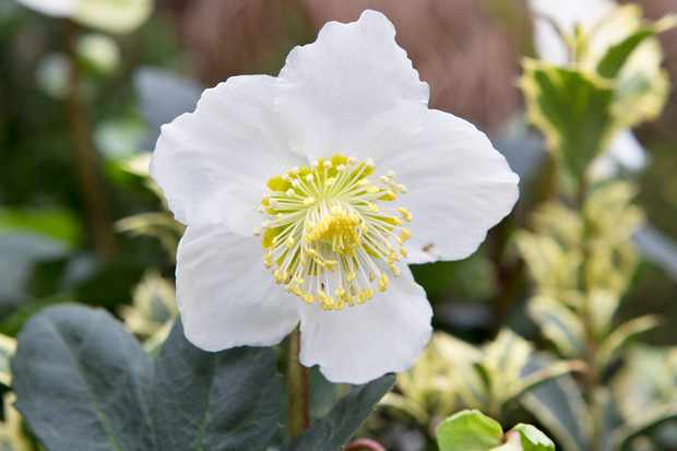 Save £10 on Christmas rose
