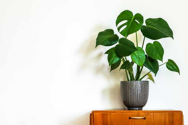 Monstera deliciosa 'Swiss Cheese Plant' at Blooming Direct