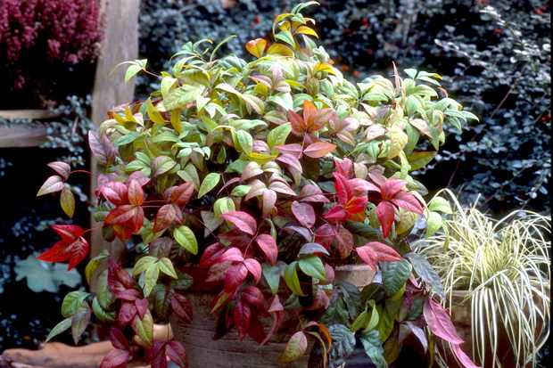 Nandina domestica 'Fire Power' from Blooming Direct