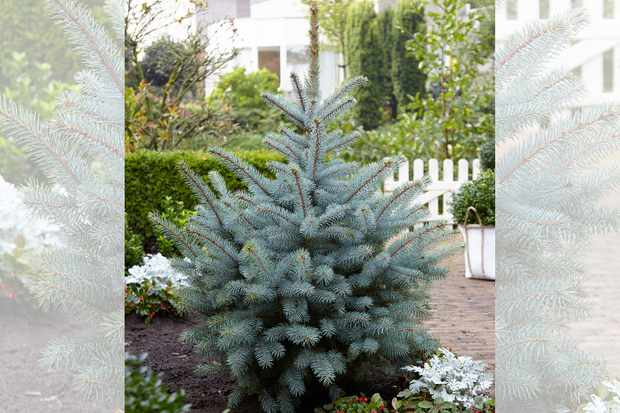 Colorado spruce - grow your own Christmas Tree from Hayloft