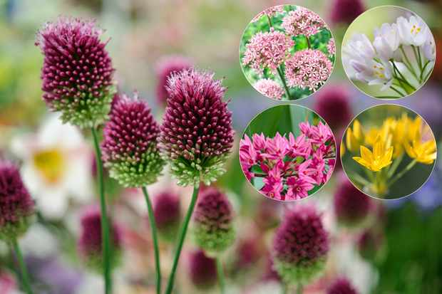 Save 20% on all bulbs, plus receive free allium collection with order at Hayloft