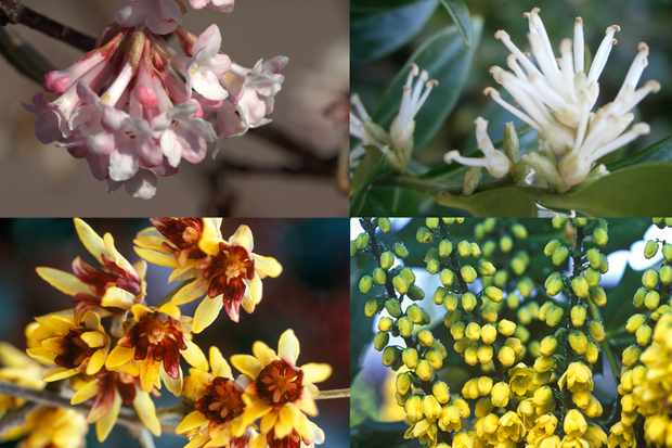 Fragrant winter shrubs collection from Hayloft