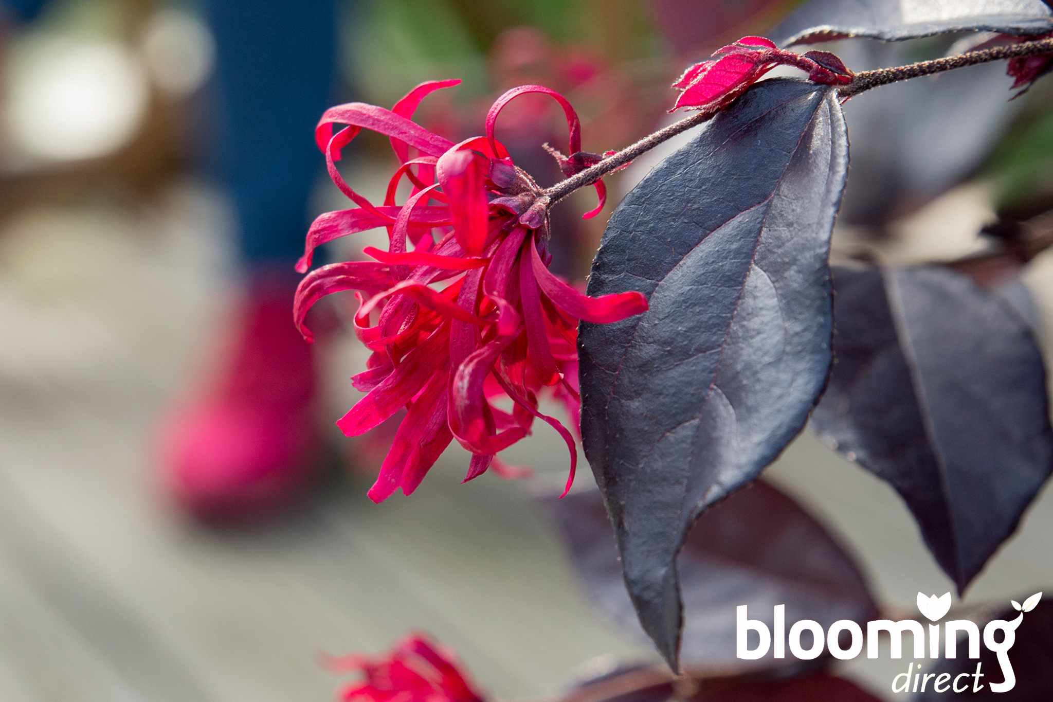 Save 25% on Chinese witch hazel 'EverRed' at Blooming Direct
