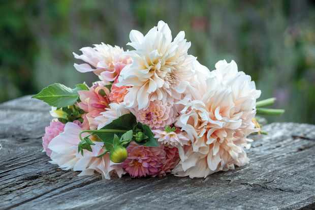 Strawberries & Cream dahlia collection from Sarah Raven
