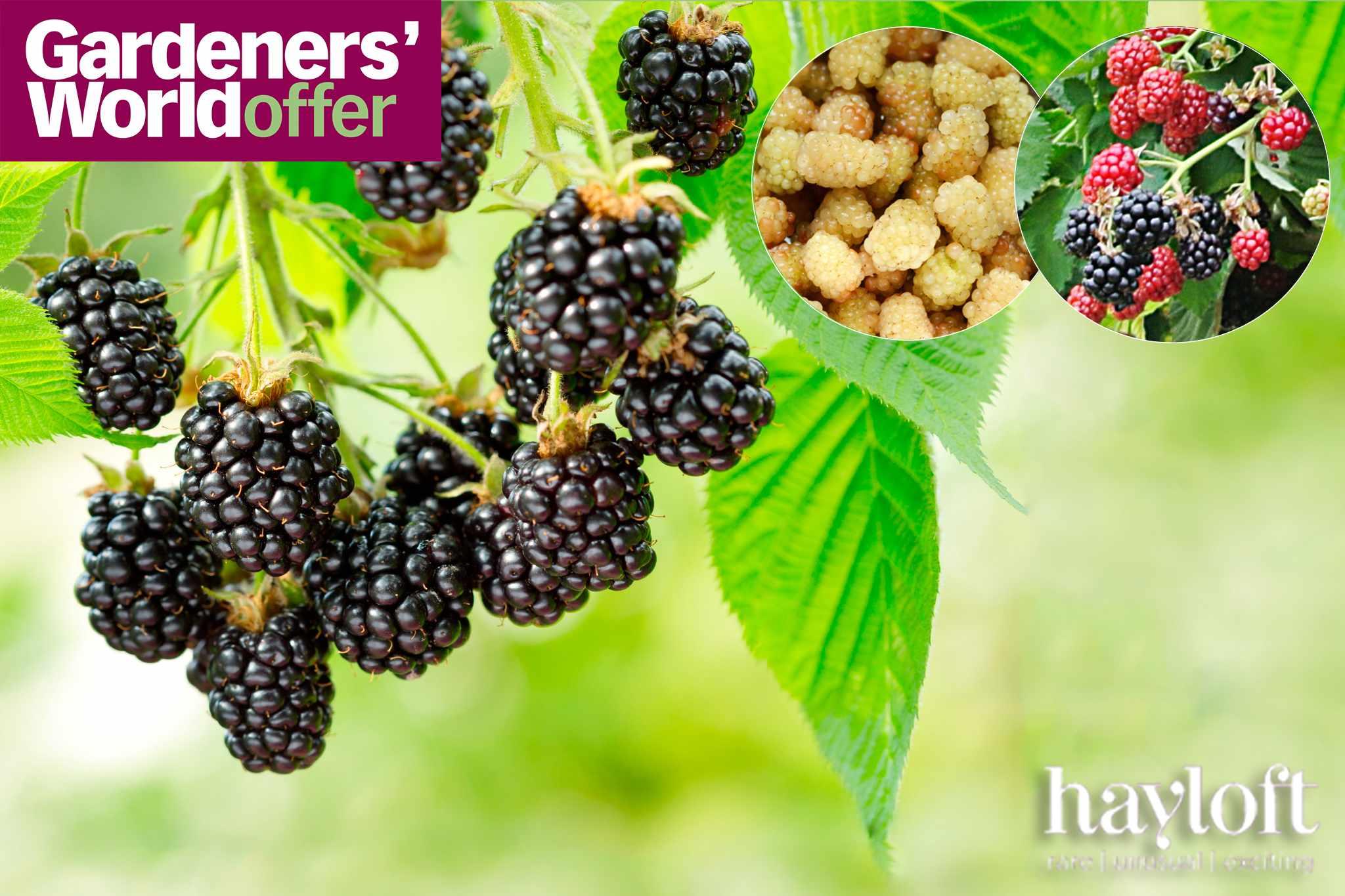 Three free blackberry plants* from Hayloft