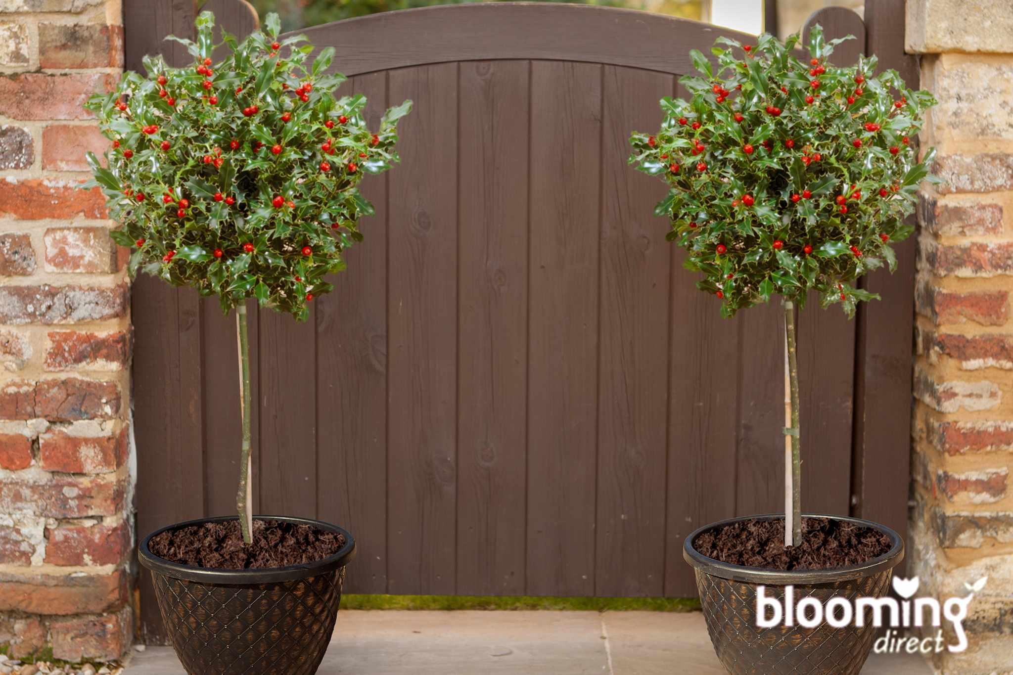 Save £10 on a pair of holly standards, from Blooming Direct