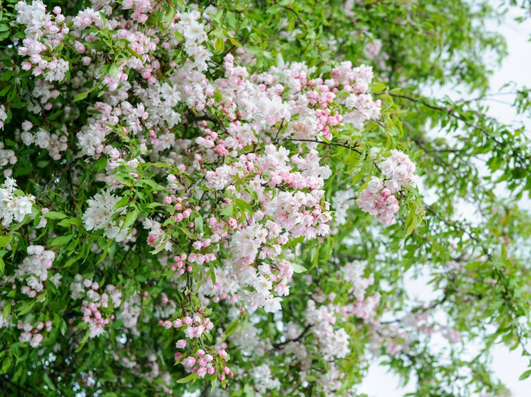 Some Known Facts About Weeping Crabapple Tree.