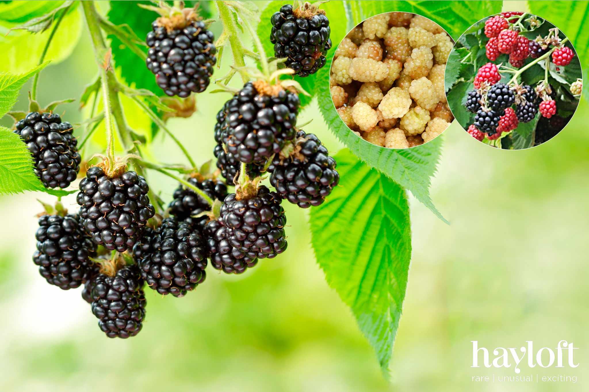 Free blackberry plants from Hayloft