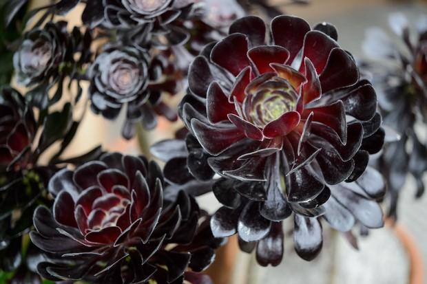 Best succulents to grow - Aeonium 'Zwartkop'