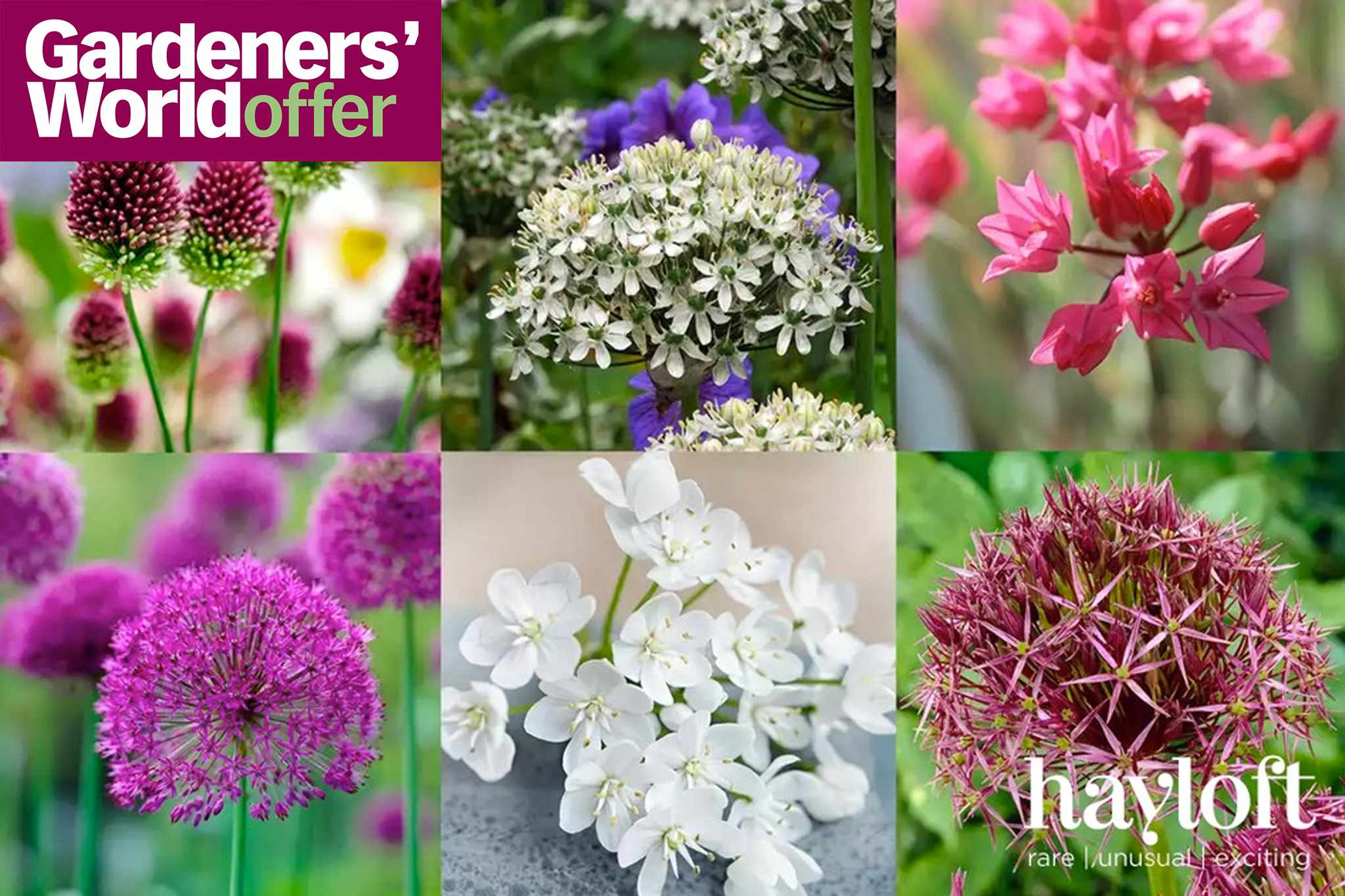 100 allium bulbs for only £20 at Hayloft