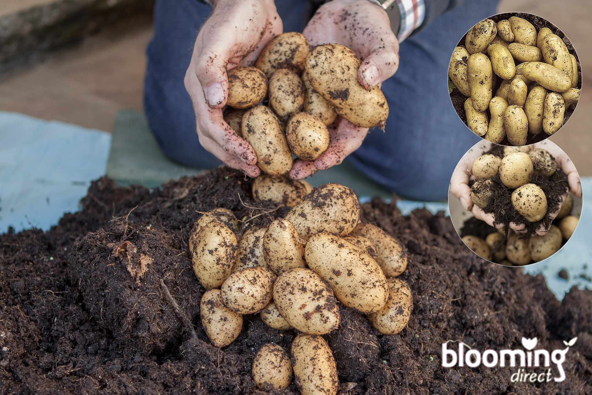 Save over 55% on second cropping potato patio growing kit from Blooming Direct