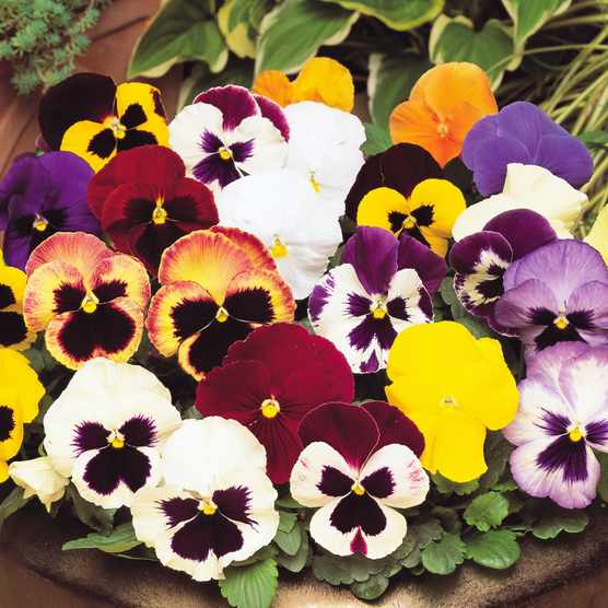 Save £5 on 24 pansy 'Matrix Mix' garden ready plants at Blooming Direct