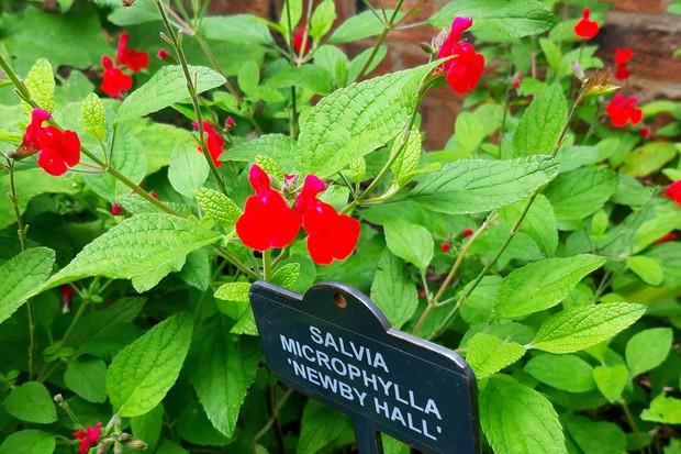 Salvia microphylla ' Newby Hall'