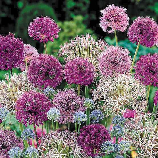 Save on complete allium collection, plus free feed at Blooming Direct