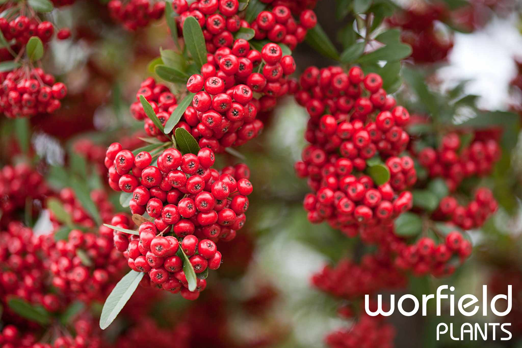 Save on winter-favourite pyracantha at Worfield Plants