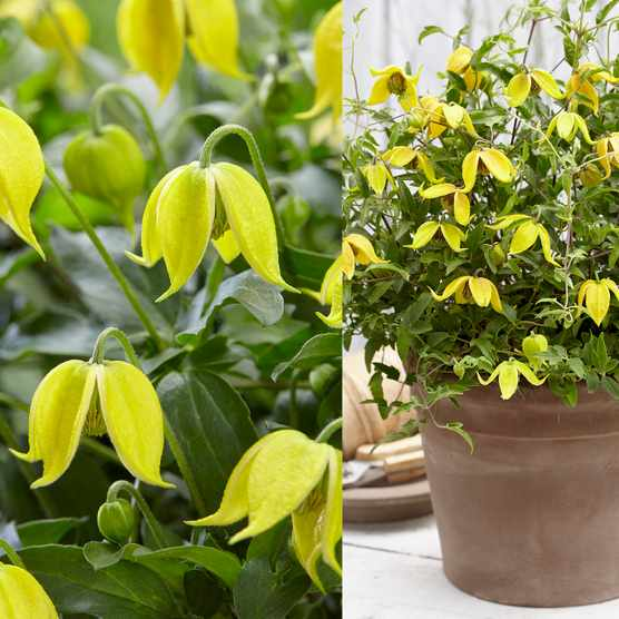Save 25% on Clematis tangutica 'Little Lemons' at You Garden