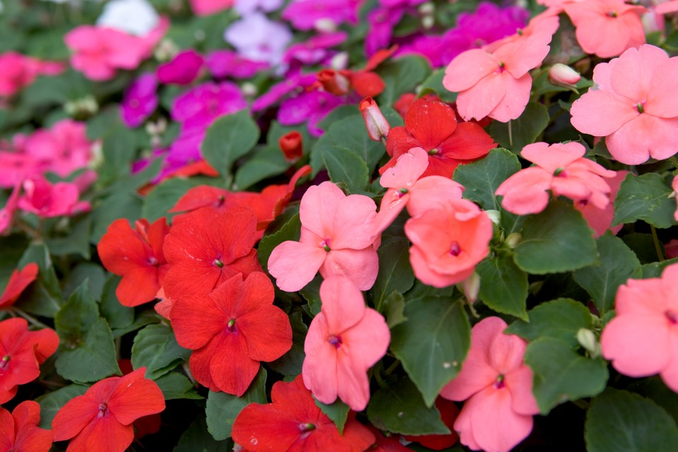 Impatiens Plant Grow And Care For, What Is An Annual Bedding Plant