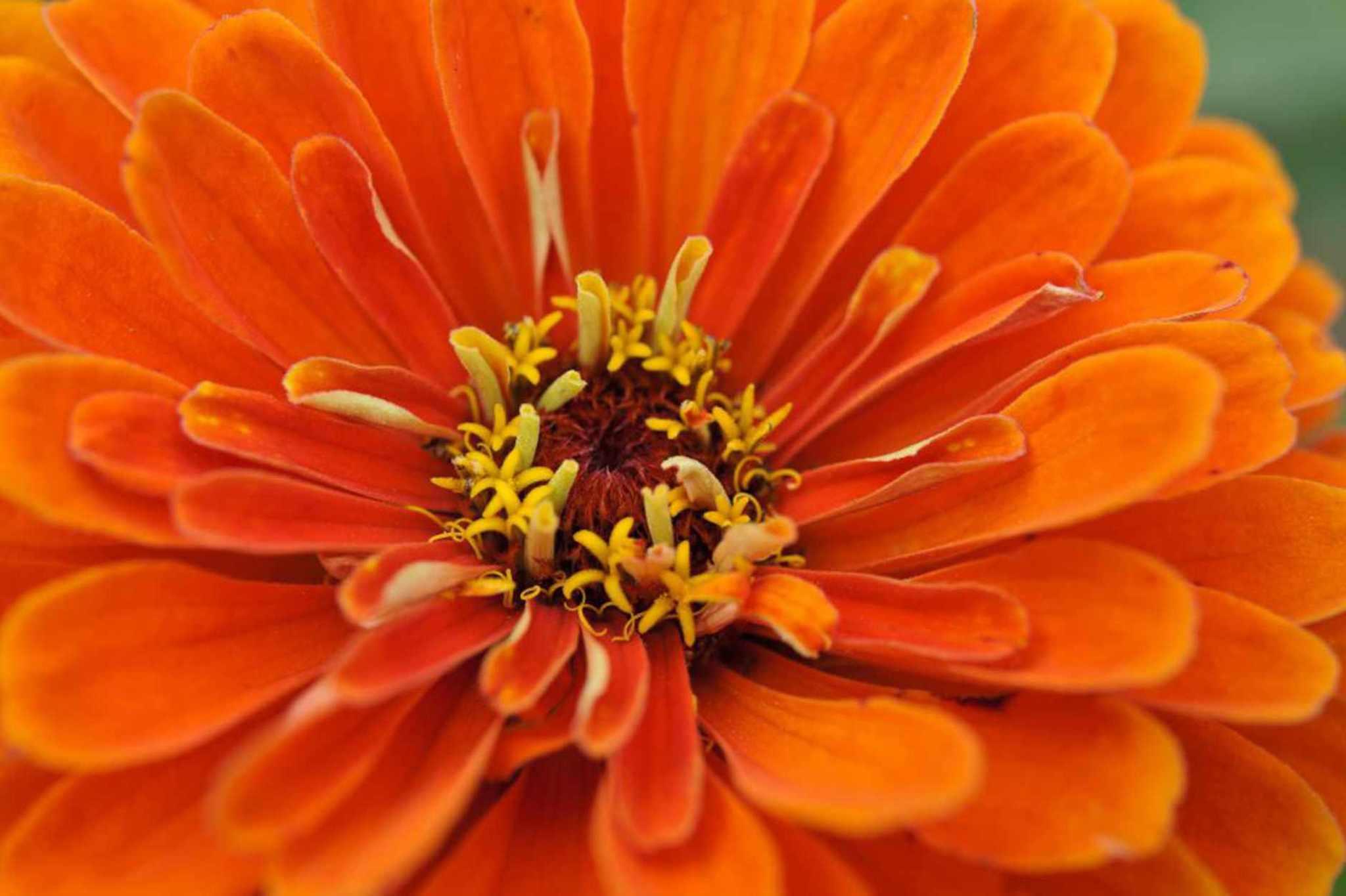 Zinnia elegans 'Orange King'