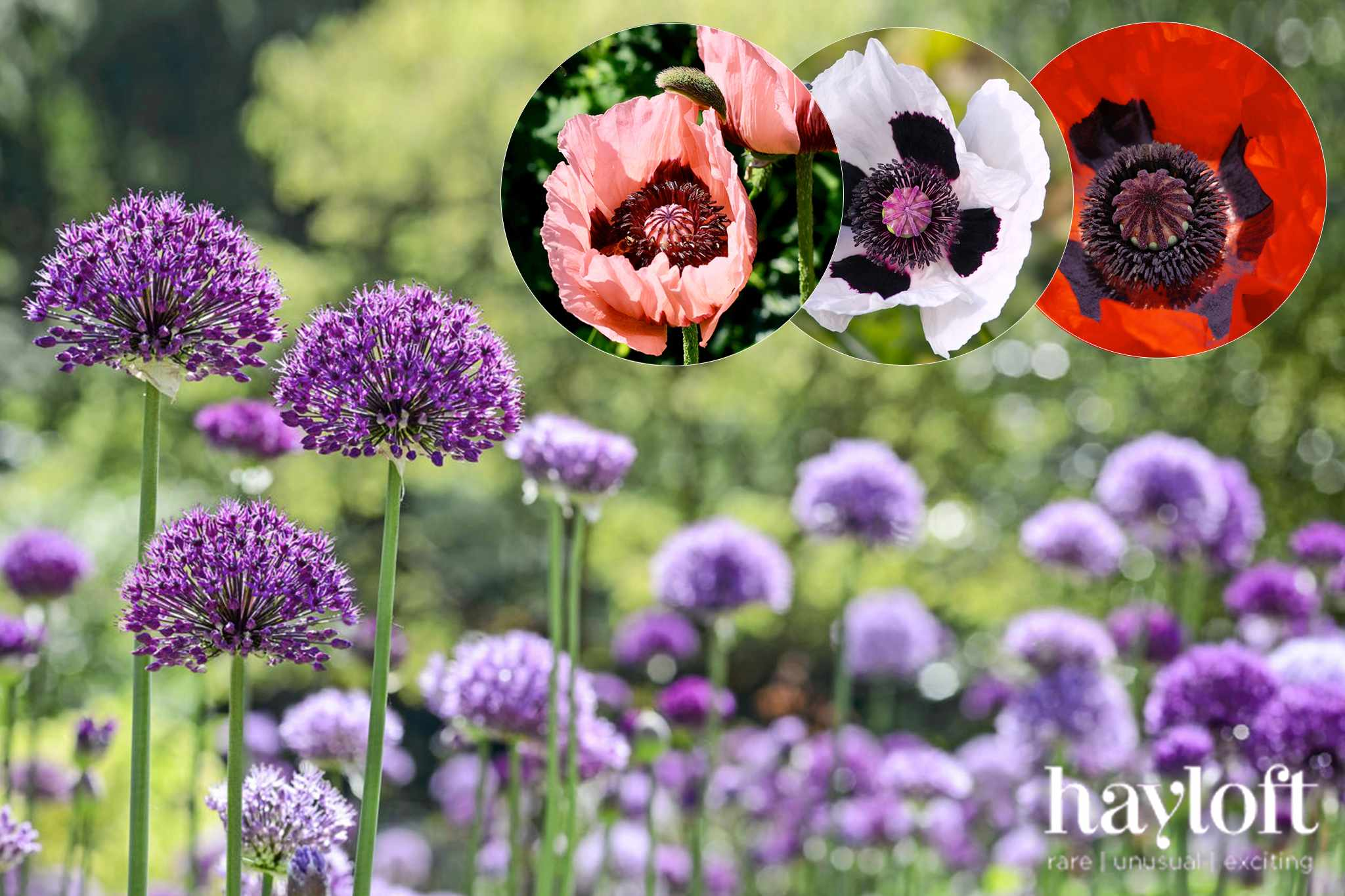 15 free alliums with poppy collection at Hayloft