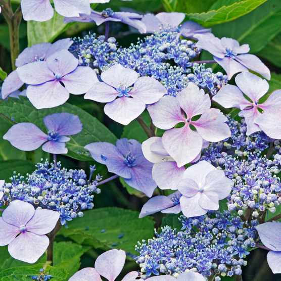 Save £10 on pair of hydrangea at Worfield Plants