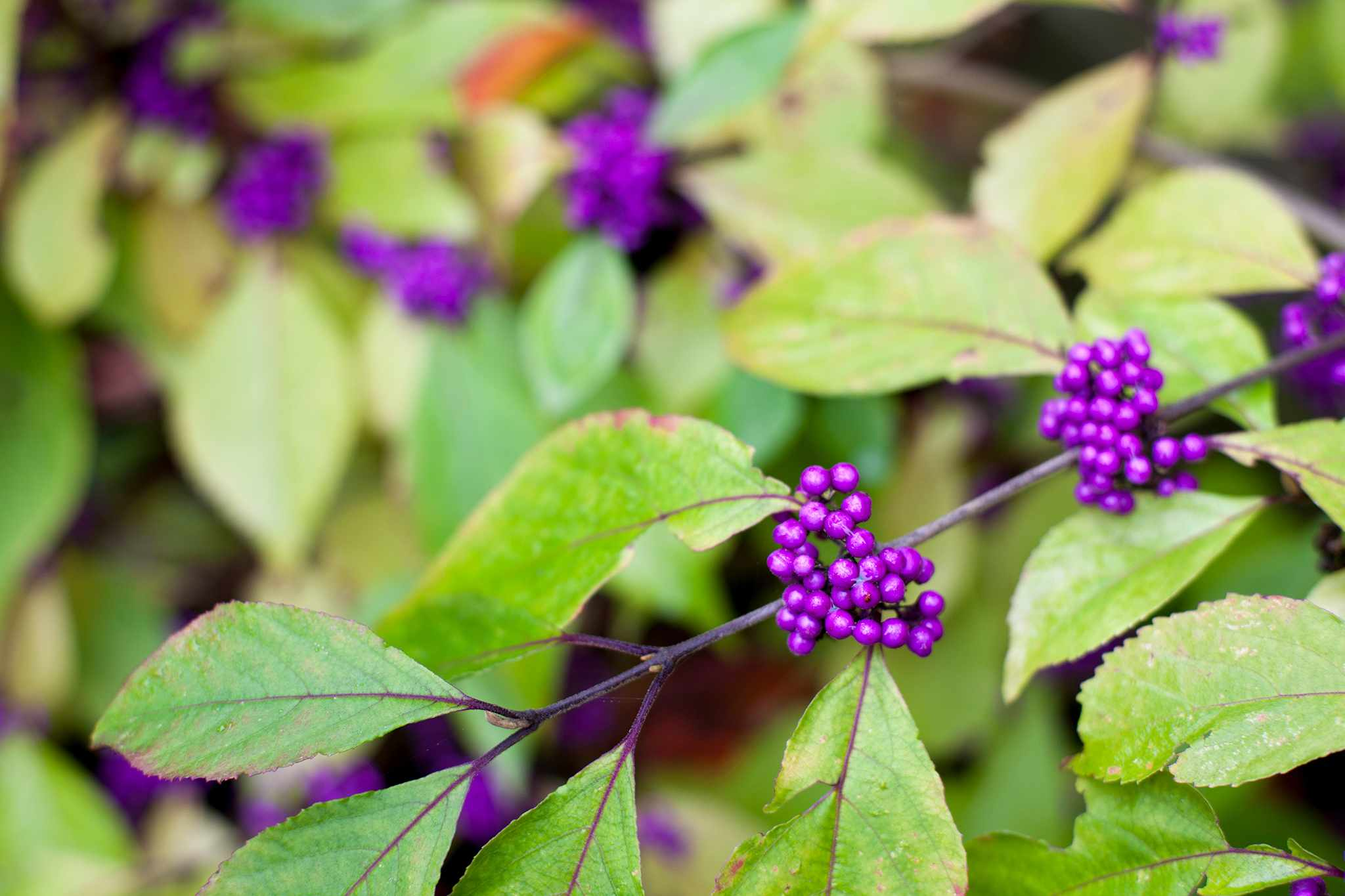 Purple berries on the callicarpa