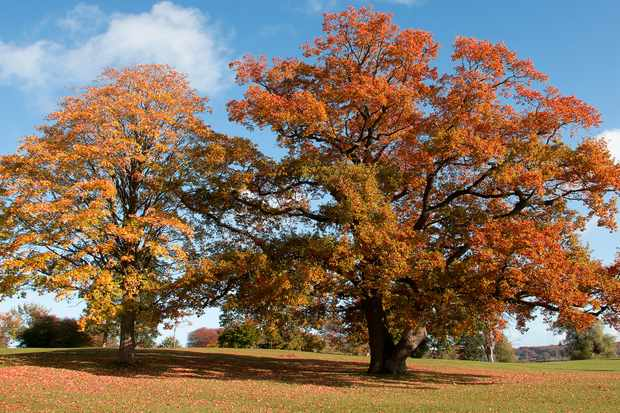How to grow beech. Getty Images