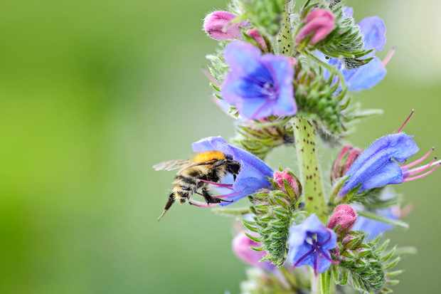 Viper's bugloss flower with common carder bumblebee