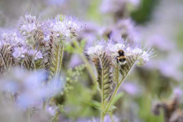 Bumblebee on phacelia flowers