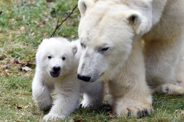 A baby polar bear with its mother