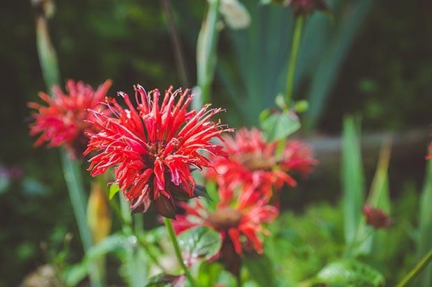 Crimson beebalm (Monarda) growing in the garden